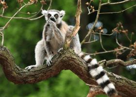 Lemur kata na Madagaskare