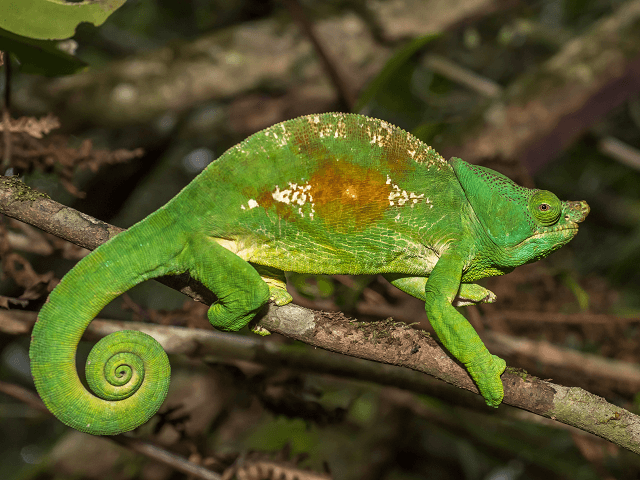Chameleón na Madagaskare
