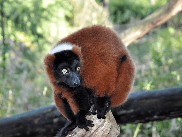 Hnedý lemur vari