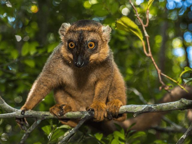 Lemur na Madagaskare