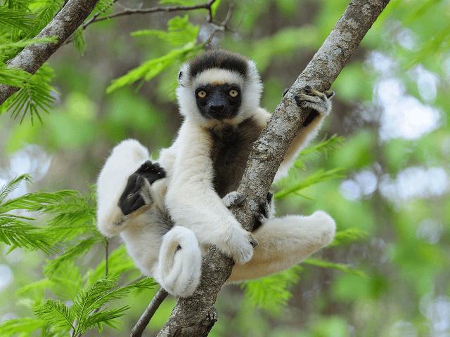 Lemur sifaka