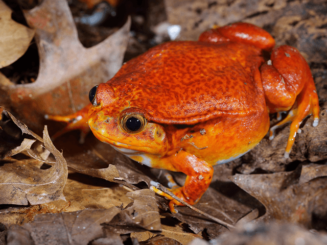 Paradajková žaba