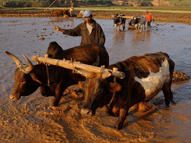 Tradičný roľnícky štýl života na Madagaskare